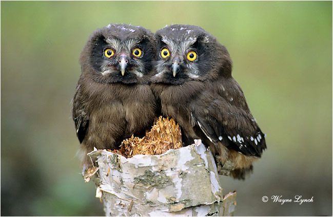 Boreal owls by Dr. Wayne Lynch ©